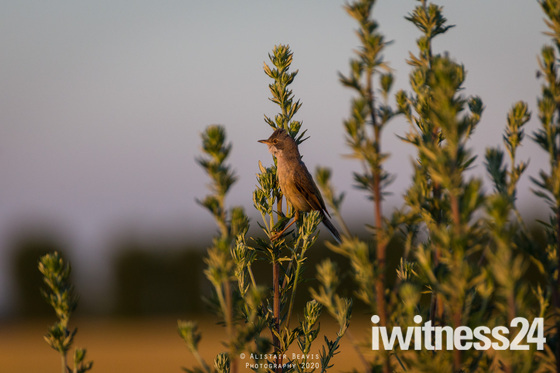 Common Whitethroat in the late evening sun