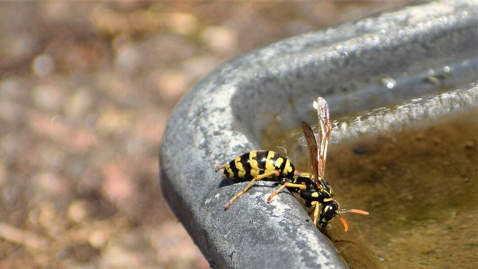 Franse veldwesp met enorme dorst. Wat wil je met deze hitte. Ook insecten moeten goed drinken.