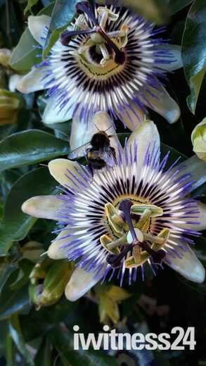 Passion Flower with Bee