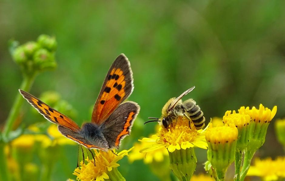 Kleine vuurvlinder en bij op bloem
