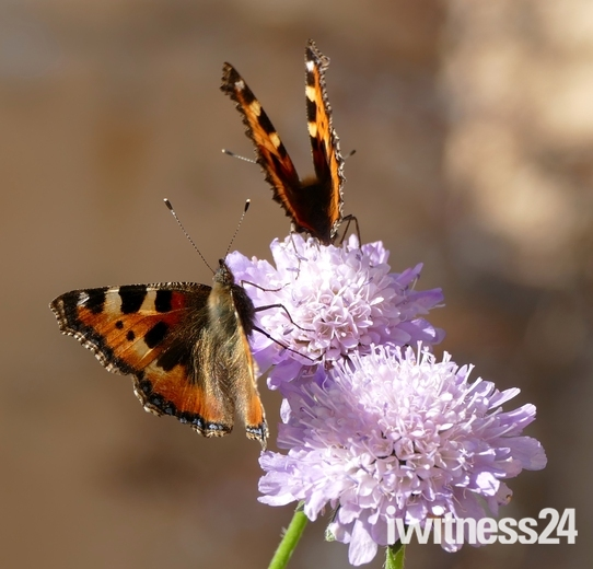 Tortoiseshell Butterflies on Scabia flowers.