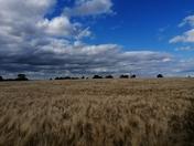 Golden fields!