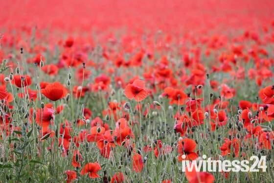 Keswick poppy fields