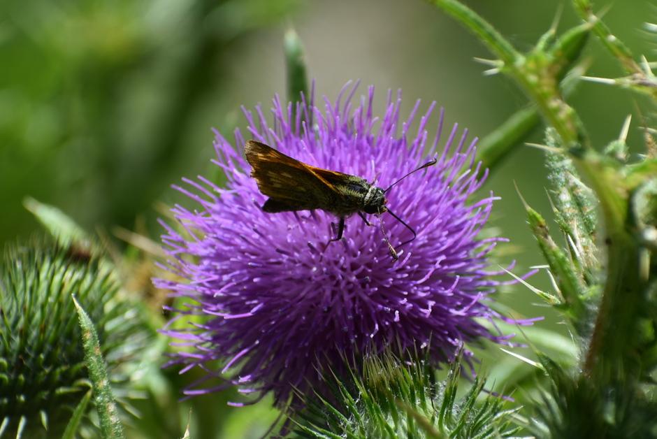 Distel met vlindertje