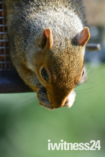 Garden Squirrel