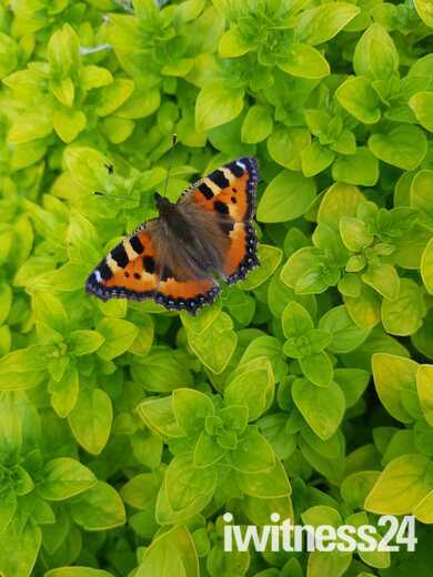 Small Tortoise Shell butterfly