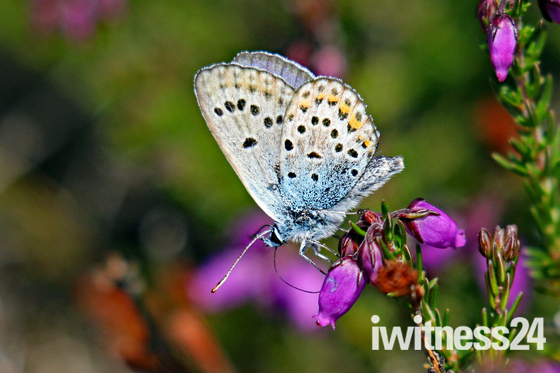 Silver Studded Blue butterfly.