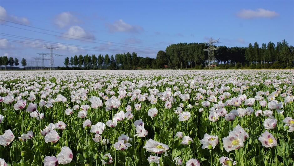 zonnig blauwe lucht wolken 16 gr stevige wind papaverveld in volle bloei