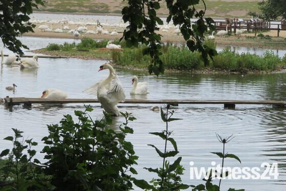 Swan excercising