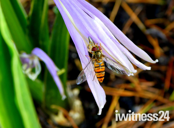 Hover on a Hosta