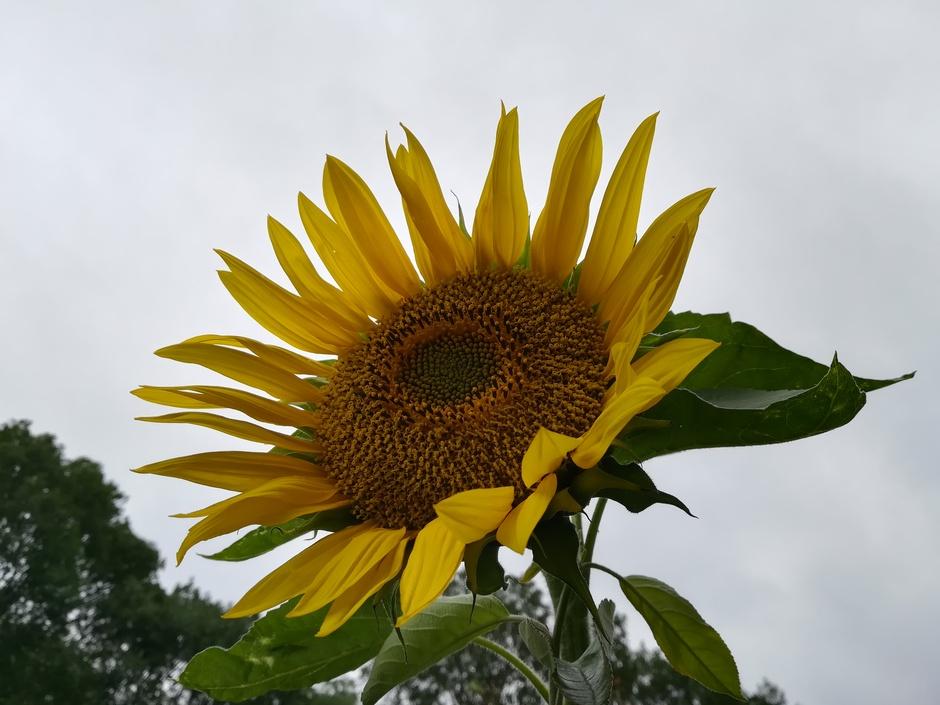Stevige wind, grijs   Zonnebloem geeft wat kleur