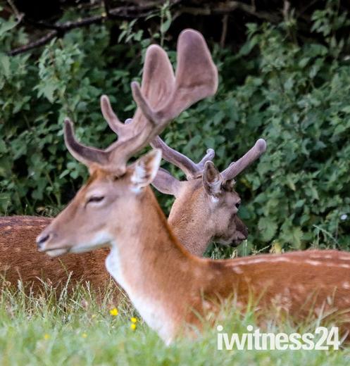 Fallow bucks with their velvet antlers