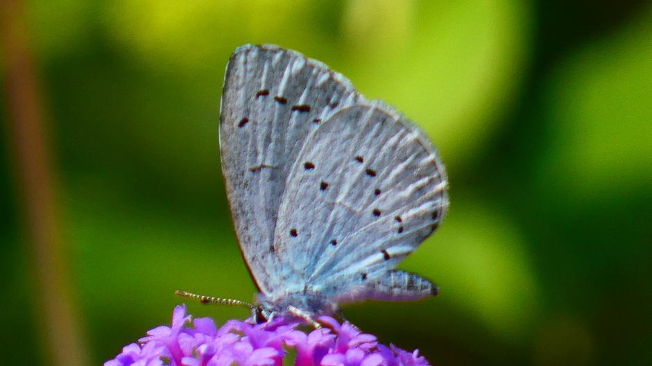 Boomblauwtje bij Vlindertelling in eigen tuin
