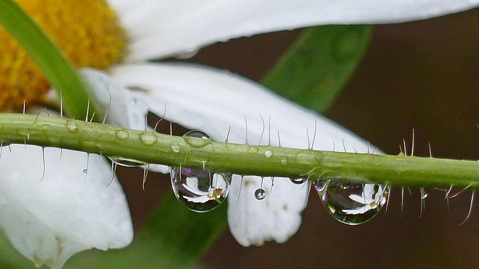 Margrieten in regendruppels