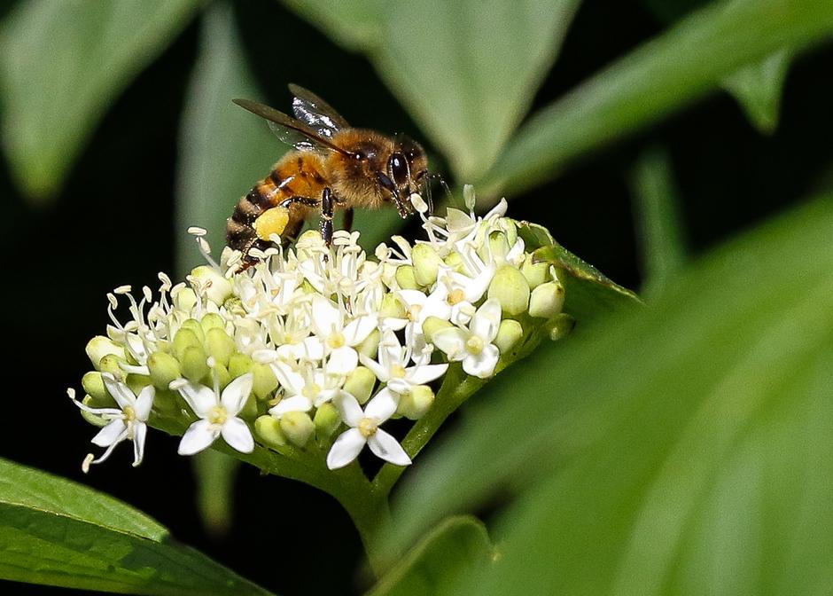 Insect (..bij) op Kornoelje