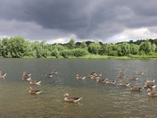 Geese at Whitlingham Broad