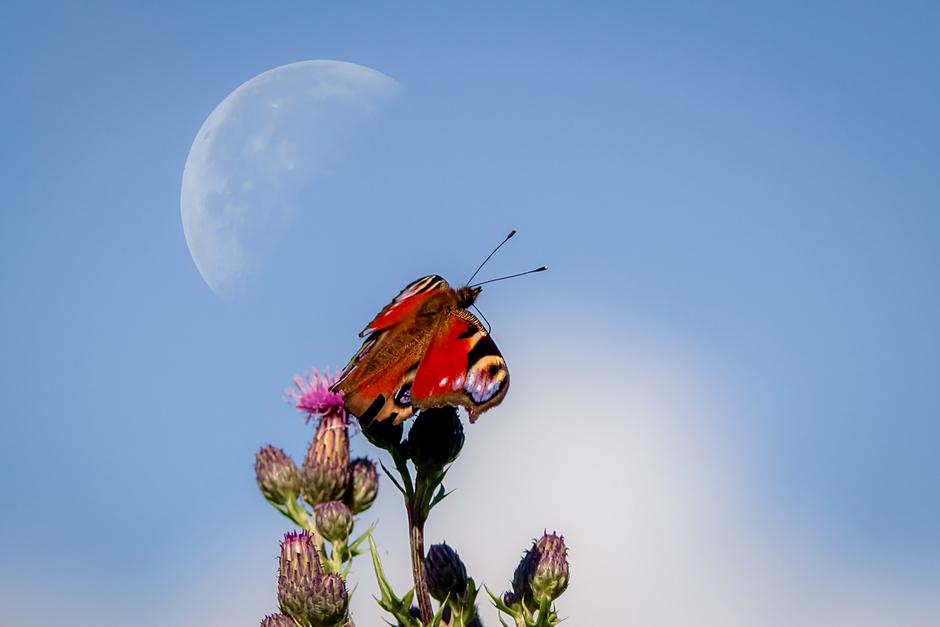 Vlinder en de ondergaande maan