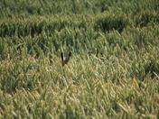 Hare at Wheatacre