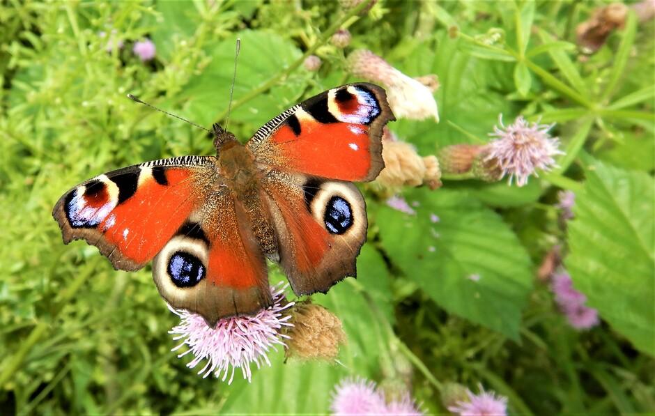 Vlinder gespot