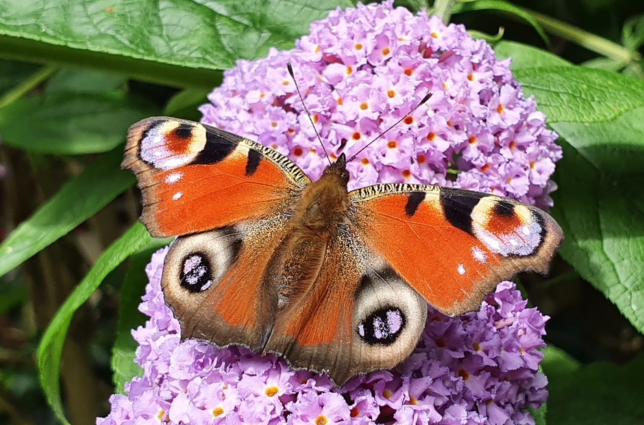 Vlinder dagpauwoog