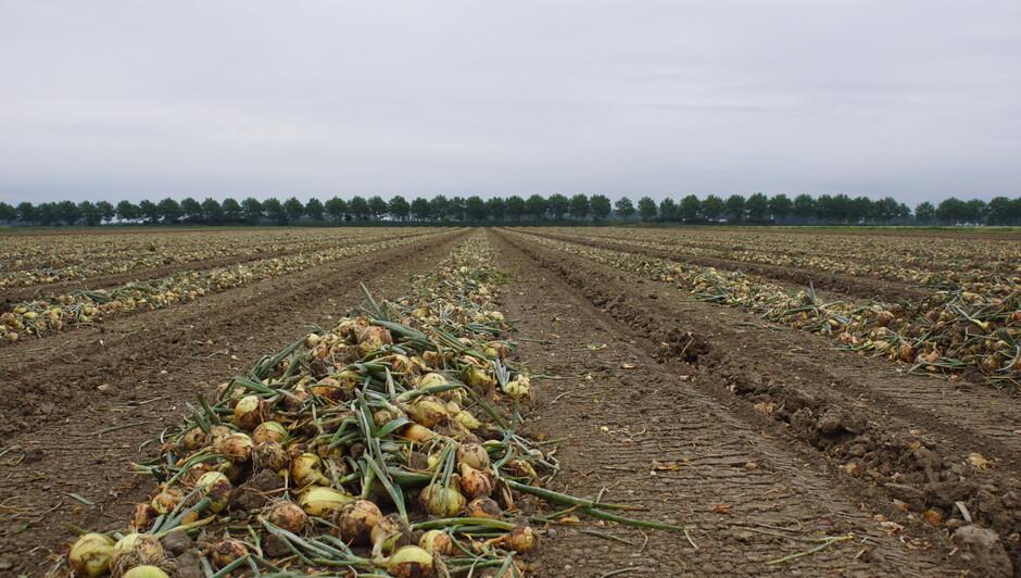 grijs weer 18 gr rijen uien op het land klaar voor verwerking