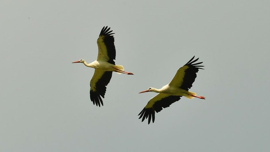 Ooievaarspaar in vlucht