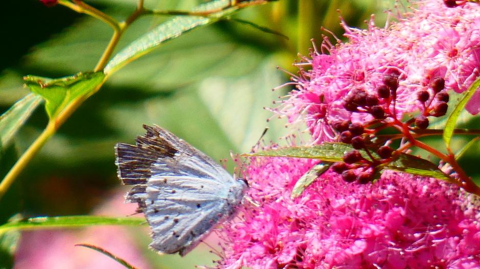 Boomblauwtje, mooi vlinderweer