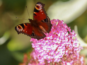 Peacock butterfly on pink buddleia