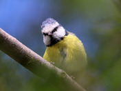 Blue tit birds