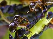 Ants and Blackfly