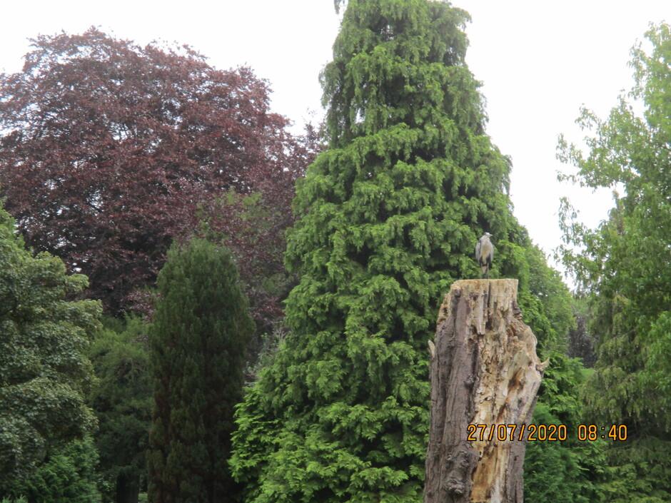Reiger hoog op een dode boom