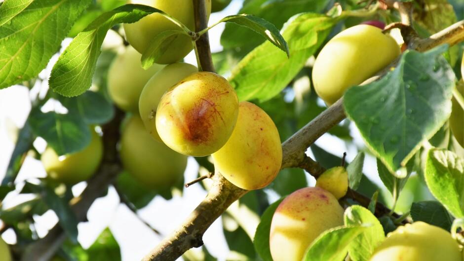 Vanmorgen was het bewolkt en  viel er regen, maar Inmiddels is er volop Zonneschijn in de Betuwe. Goed voor de fruitbomen!