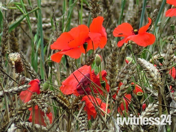 Poppies 'N' Wheat