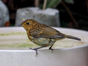 Young robin visiting for a bath