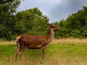 Red deer at bedfords park