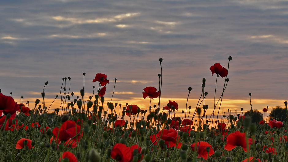 Field full poppies at sunset