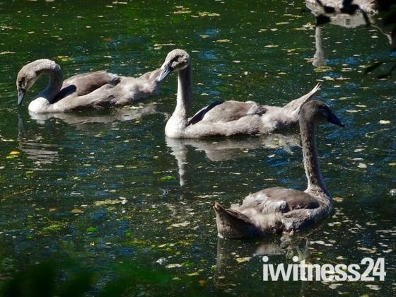 Swans in Chillesford reservoir