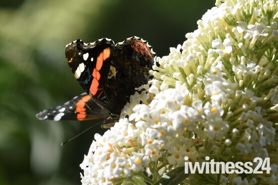Butterfly's in the garden today.