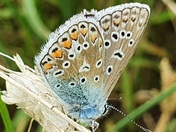 Common blue butterfly resting