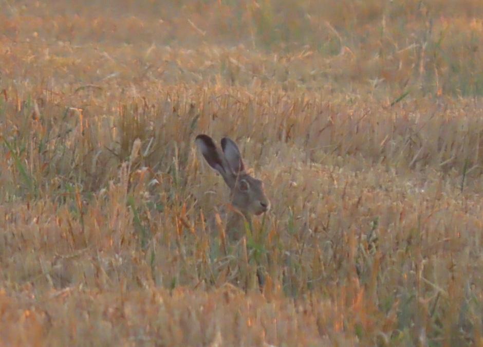 Een haas vanmorgen vroeg