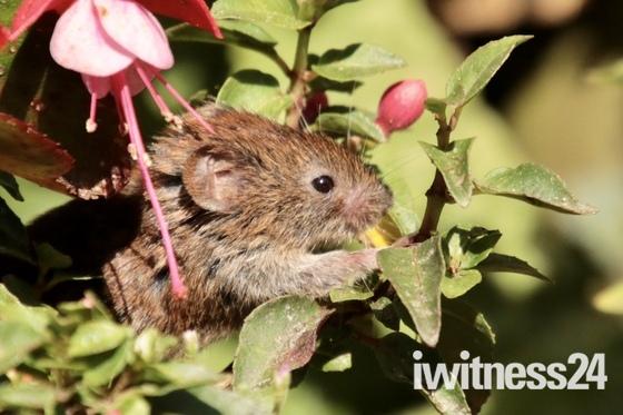 Victor the vole in the garden