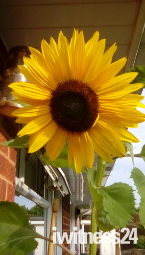 Sunflowers to make you smile.