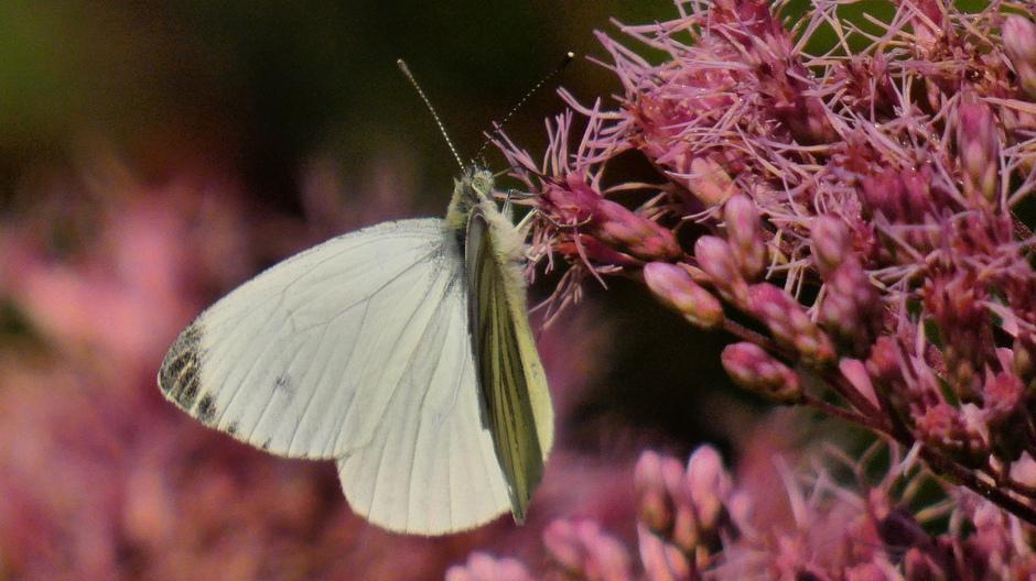 Klein geaderd witje op het koninginnenkruid