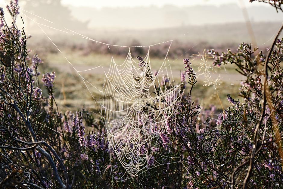 Mistdruppels in een spinnenweb samen met bloeiende hei
