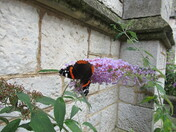 Red Admiral butterfly on the buddliea, on Tower Street