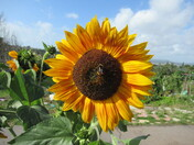 A bee pollinating a sunflower