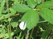 Cabbage White butterfly on a bramble leaf