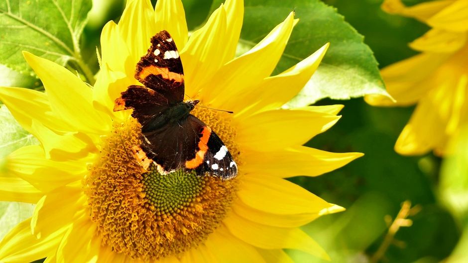 Atalanta vlinder op zonnebloem