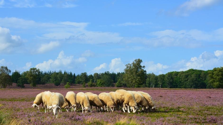 Grazende schapen op de Renderklippen