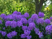 Phlox , Beth Chatto gardens